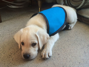 Service Dog Puppy Training